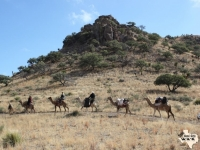 A string of camels in the Davis Mountains of West Texas, where the US Army Camel Experiment took place in the 1850s.